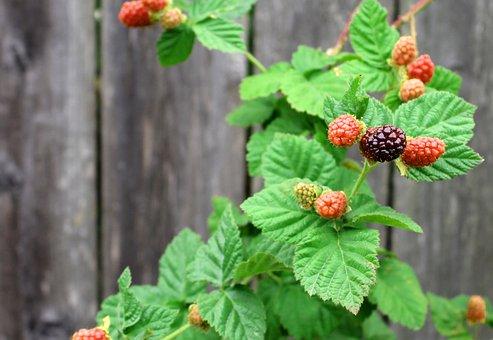 berries-2343934__340