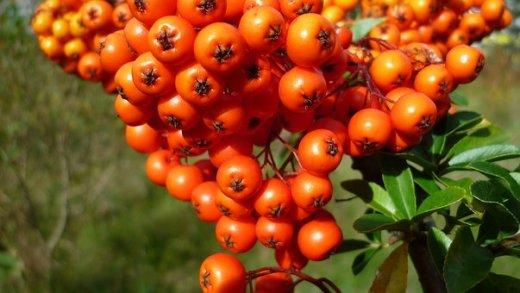 berries-2735942__340