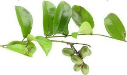 Abuta Herb