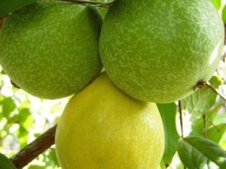 Araza fruit