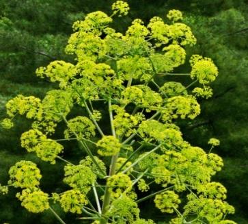 Asafoetida Herb