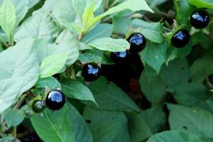Belladonna Herb