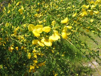 Broom Weed herb