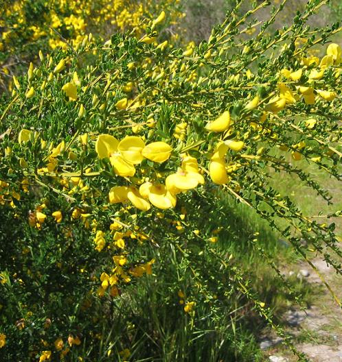 Broom Weed herb