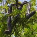Carao Fruit