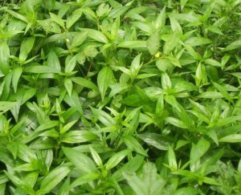 Chirata Herb