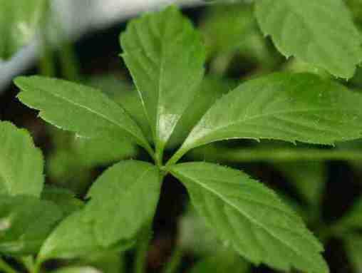 Jiaogulan Herb