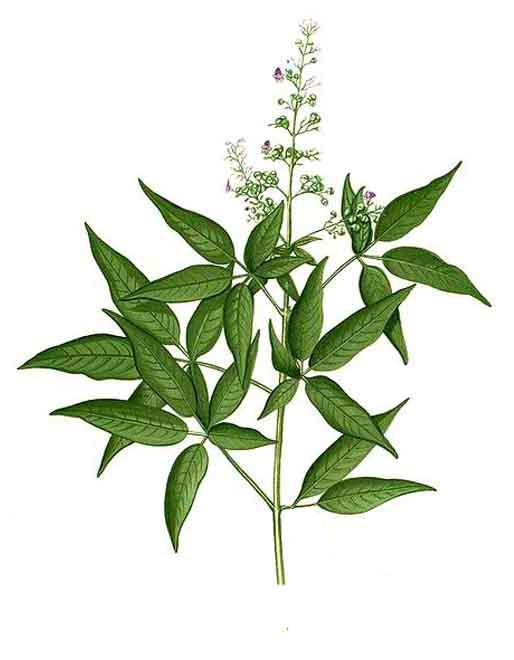 Lagundi Herb