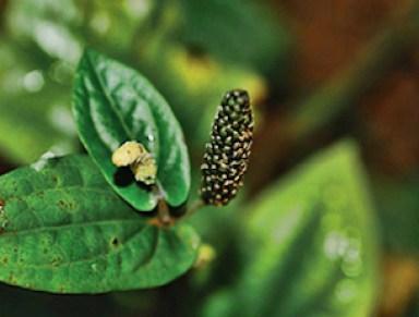 Piper Longum Herb