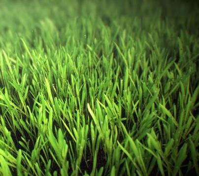 Shave Grass Herb