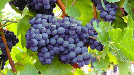 blue-grapes-77376__340