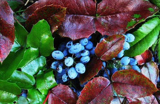 the-oregon-grape-berries-1807093__340