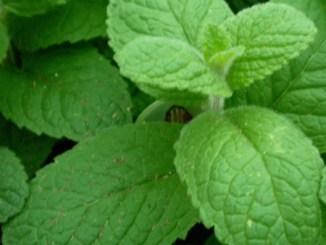 Apple Mint Herb