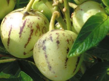 Pepino Melon Fruit