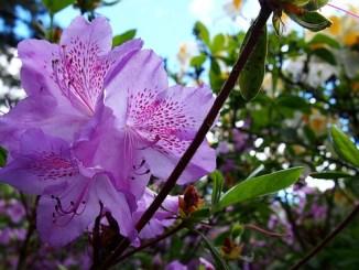 Azaleas flower
