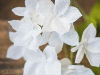 Stephanotis-plant