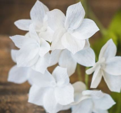 Stephanotis-plant