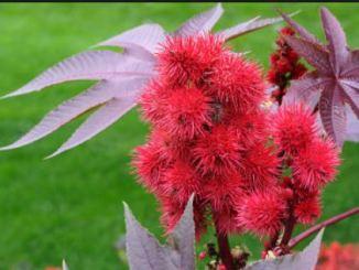 Castorbean-flower1