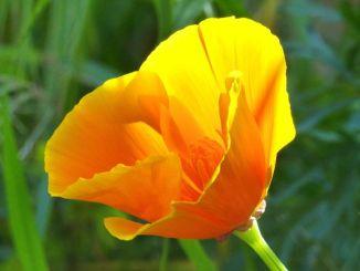 California-Poppy1