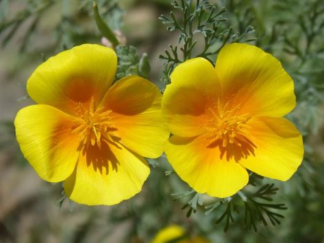 California-Poppy2