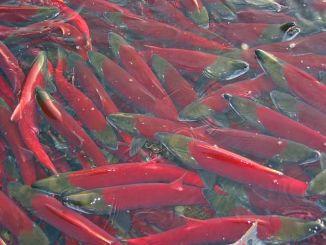 chum-salmon
