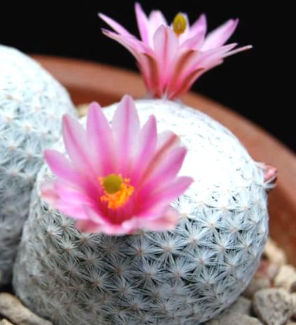 Mammillaria-herrerae-golf-ball