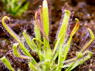 drosera-capensis-11701128__340