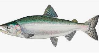pacific-wild-salmon-8458981__340