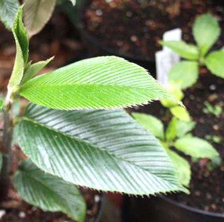Rubus-calophyllus1
