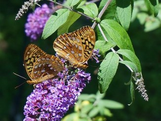 fritillary-butterfly-1429608__340