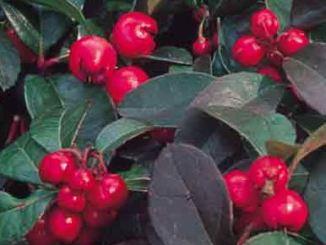 partridge-berry