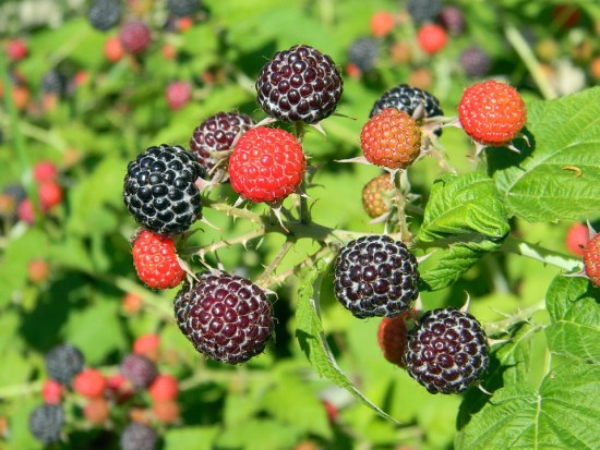 raspberry-841653_960_720