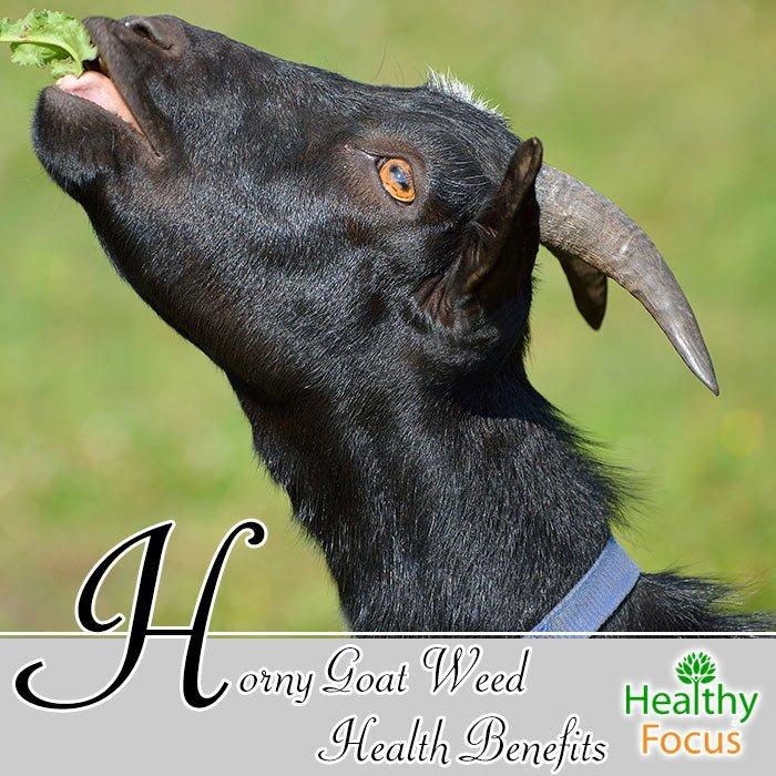 Honry goat