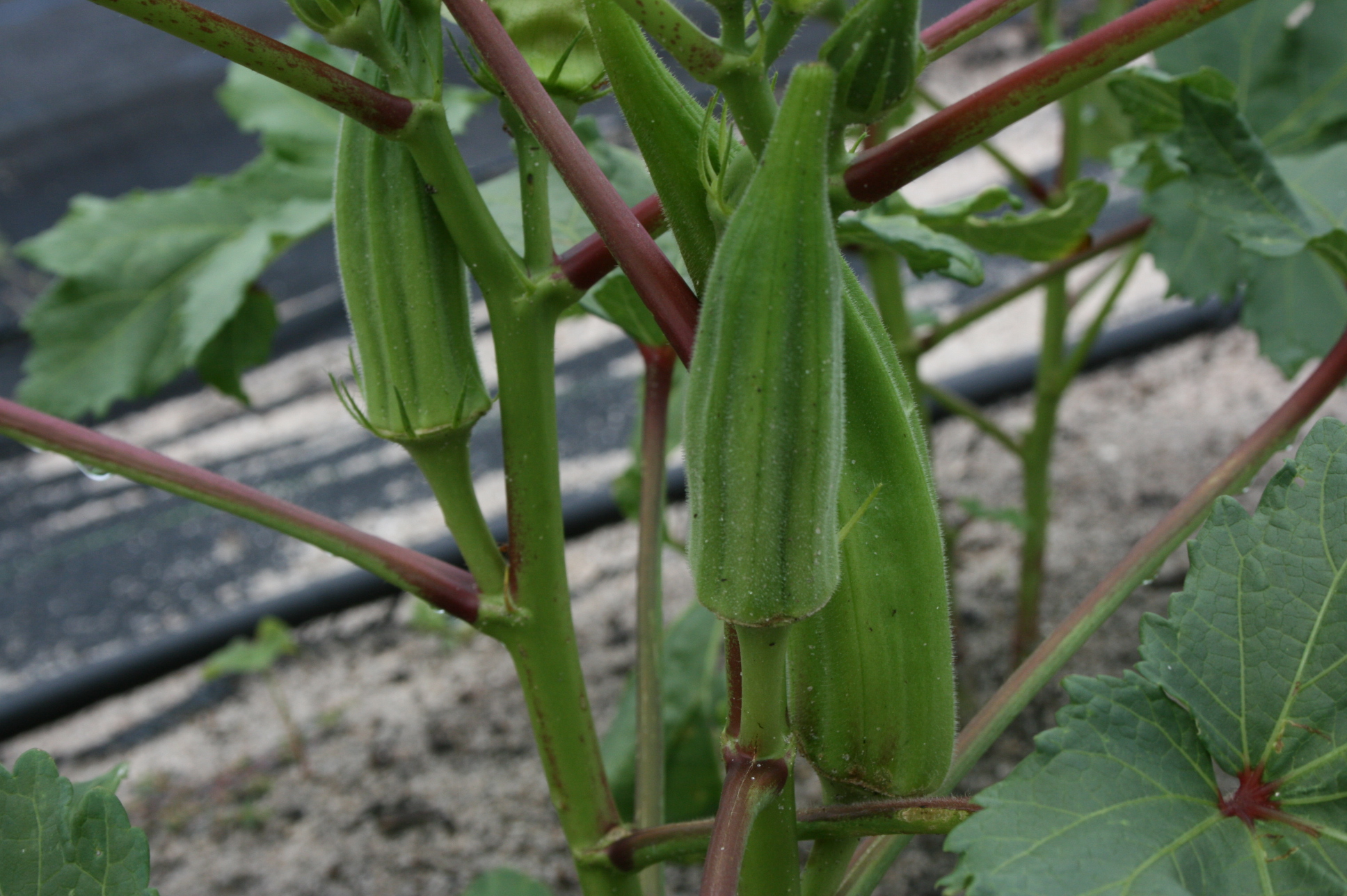 How To Grow Okra From Seed Easily In Your Own Home