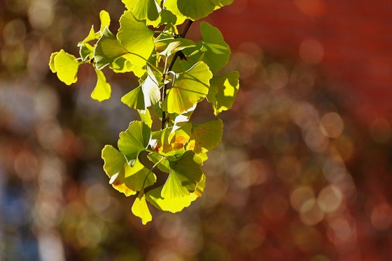 Boost Blood Circulation to your Scalp with Ginko Biloba