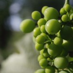 Grape Seed Extract Combats Dihydrotestosterone – a Leading Cause of Hair Loss