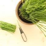 Weizengras frisch geerntet
