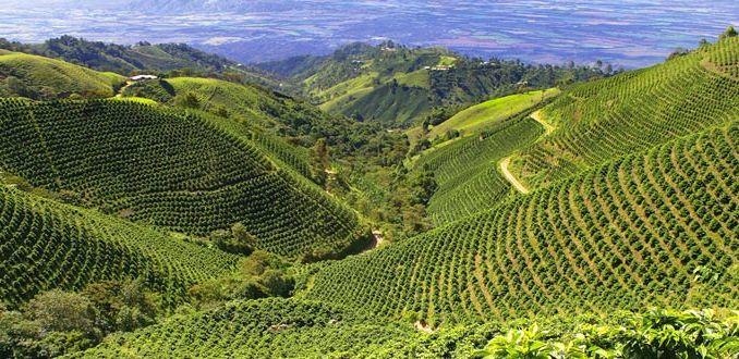 Coffee plantation 700x330