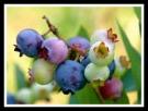 blueberries-benefits