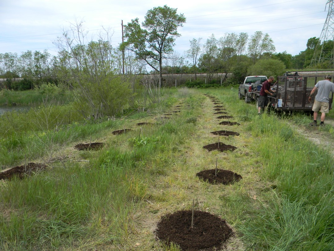 Holes in the ground waiting poplar trees