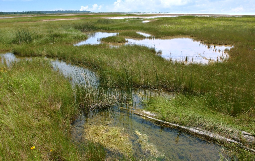 A wetland with grasses and water