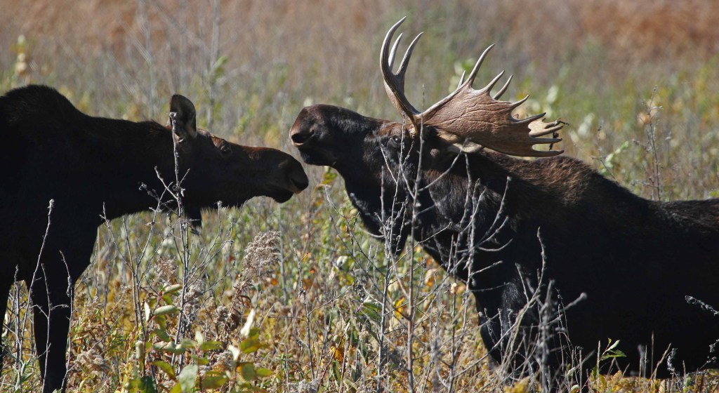 A young moose stands near an older moose.