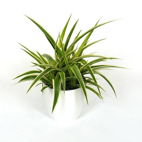 Spider Plant - christmas wishlist ideas