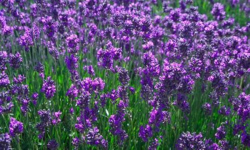 Image Source: http://blog.electrodry.com.au/index.php/11/04/2012/the-healing-power-of-lavender/