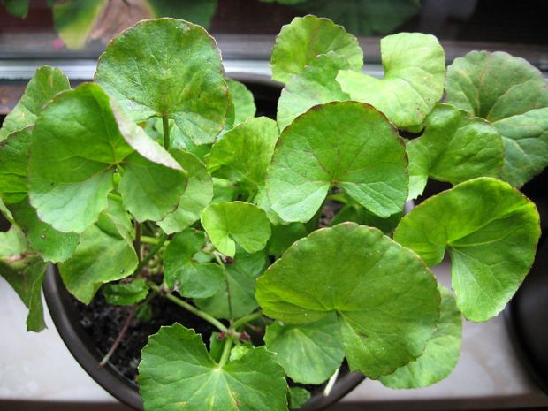 Gotu Kola (Centella asiatica) (中文:雷公根、崩大碗、蚶壳草) is a common herb used for wound healing.