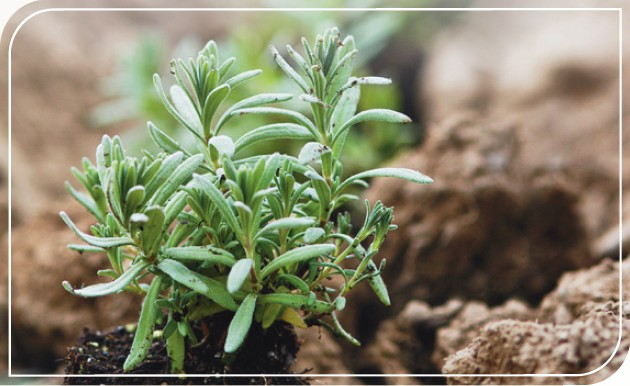 SEED: Potent essential oils come from plant species that have been authenticated by Young Living and industry experts.