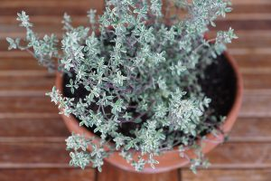 Thyme is good for respiratory conditions