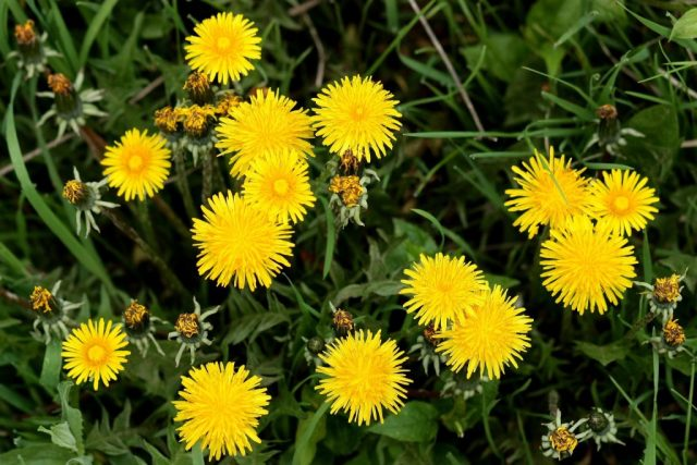 Dandelion is a common household weed