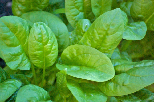Spinach - palak green vegetable