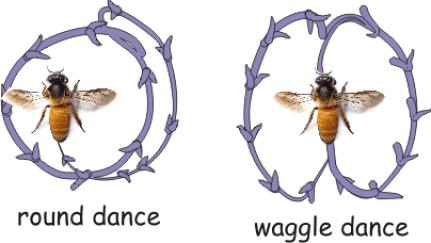 waggle dance ile ilgili görsel sonucu